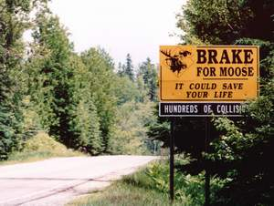 Looking for Moose